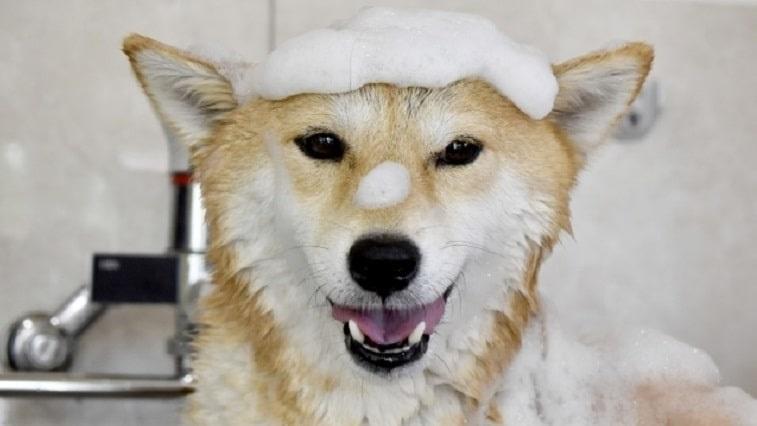 柴犬がシャンプーされている写真