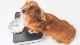 体重計にのる犬