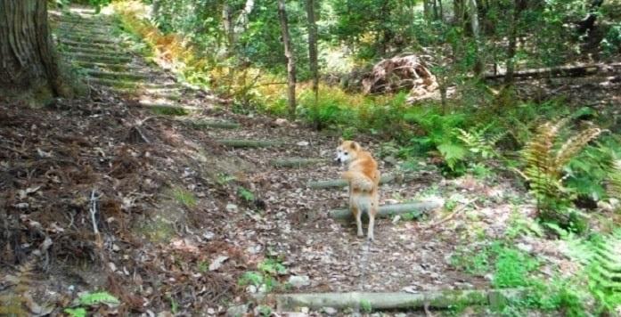 柴犬が山道を歩いている